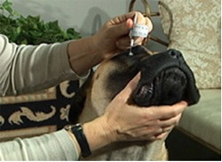 Corneal Ulcers in Canines