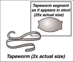 cat tapeworm